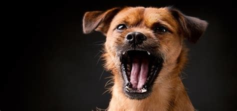 angry barking animal sounds free sound effects free sounds library