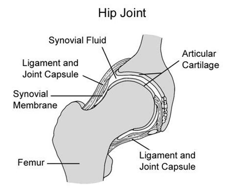 diagram of hip joint chd overview shepherd club