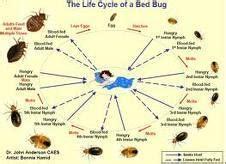 how many eggs do bed bugs lay how many eggs do bed bugs lay bed bugs life cycle