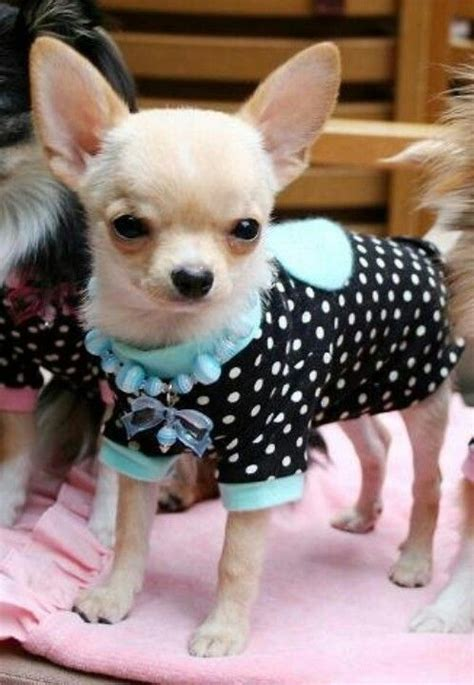 chihuahua puppy clothes best 25 chihuahua clothes ideas only on yorkie clothes clothes and