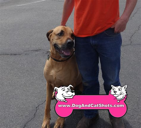 great dane x rottweiler low cost and cat in northern california mixed breed bo came to our rocklin