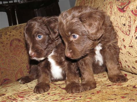 aussiedoodle puppies for sale ohio aussiedoodle puppies for sale in ohio breeds picture