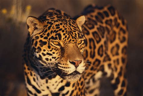 jaguars other large felines an obsession for