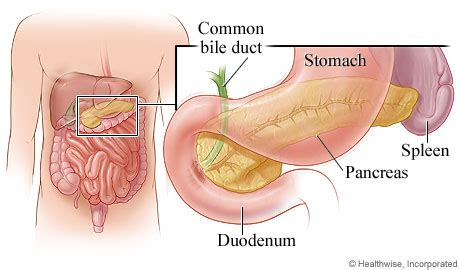 where is your pancreas located in your diagram pancreas of michigan health system