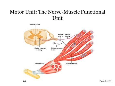 what is motor unit muscular system histology and physiology ppt