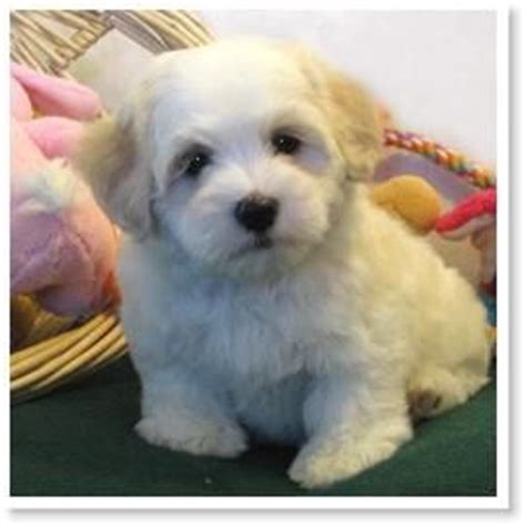 havanese colors 17 best ideas about havanese puppies on puppies dogs and