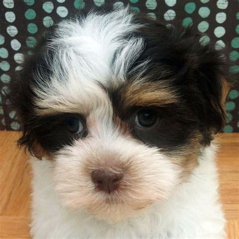 havanese coton de tulear mix home of the beautiful havaton home