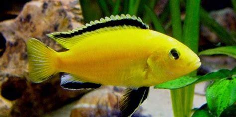 Pakan Ikan Lele Hias ikan hias akuarium penghuni air laut ikan lemon