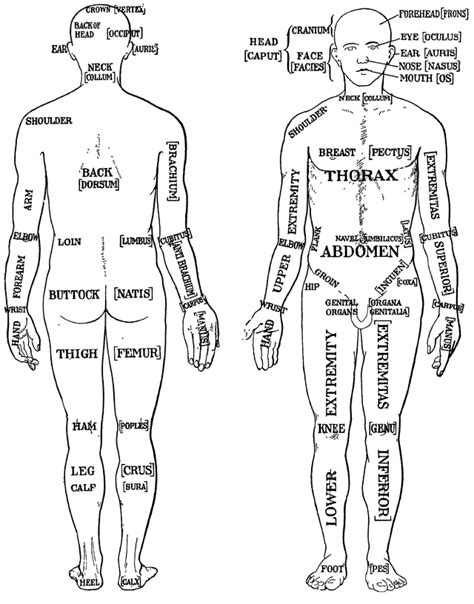 sections of the body anatomy 10 interesting facts about the body in fact collaborative
