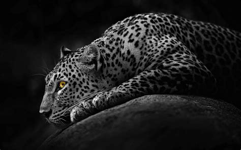 desktop wallpaper hd black and white black and white jaguar desktop hd wallpaper