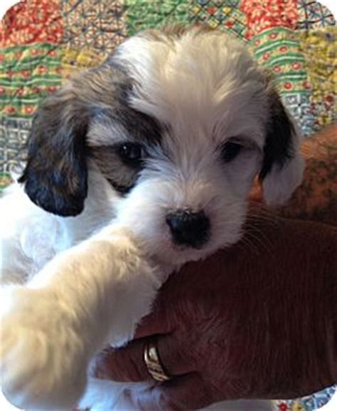 shih tzu rescue ct elly adopted puppy waterbury ct shih tzu maltese mix