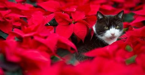 poinsettia and dogs get the facts on poisonous plants carolina cooperative extension