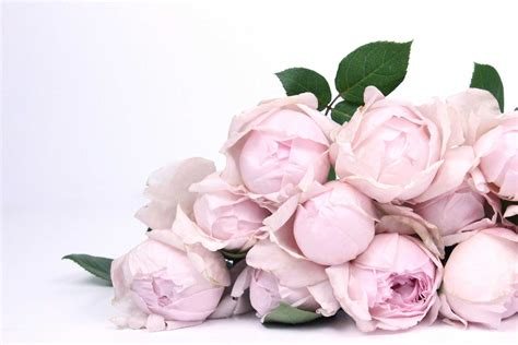 fall in love with the peony pink rose the smell of roses