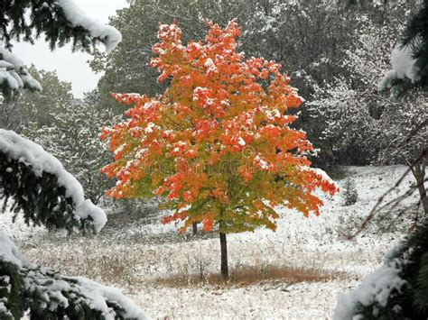 maple tree in early maple tree and falling snow in minnesota stock photo image 11441218