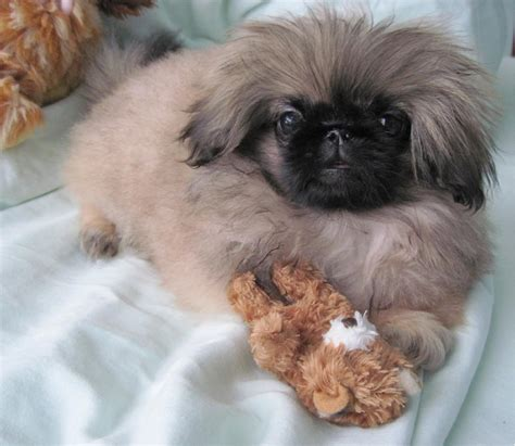 teacup pekingese puppies for sale image gallery mini pekingese