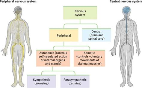 diagram of central and peripheral nervous system nervous system