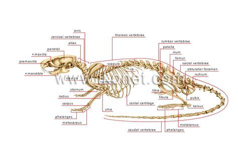 mouse skeleton diagram