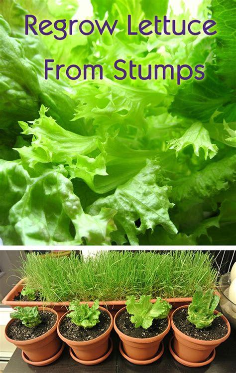regrow lettuce  stumps  suddenly   organic