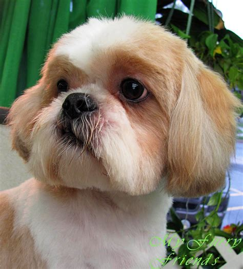shih tzu with cut pet grooming the the bad the shih tzu day