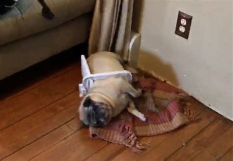 stuck pug clementine the pug gets stuck in a bin lid after destroying bathroom metro news