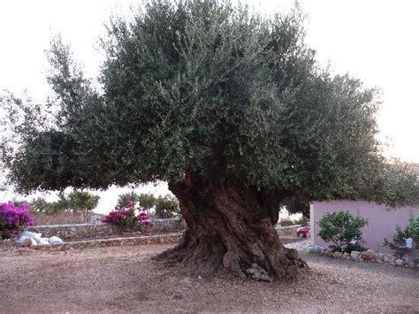 olivenbaum im garten olivenbaum im garten 252 ber 1000 jahre alt