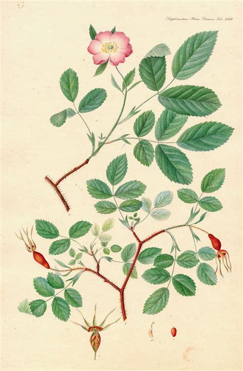 doodle name danica 29 best flora danica botany images on