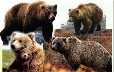 beruang grizzly info dan contoh gambar beruang gambar hidup