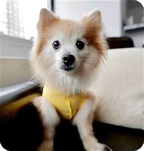 pomeranian puppies for adoption in new york adopted new york ny pomeranian