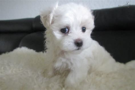 maltese puppies price dogs and puppies for sale and adoption oodle marketplace