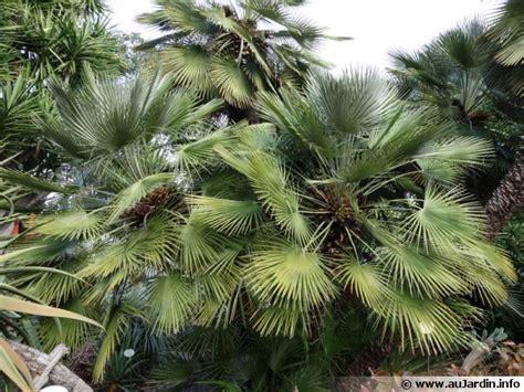 Chamaerops Excelsa Taille Adulte by Palmier Nain Palmier De M 233 Diterran 233 E Chamaerops Humilis