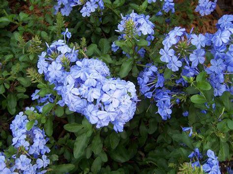 fiore pervinca pervinca fiore piante perenni coltivazione pervinca