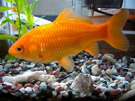 Stelan Gold Fish Kid how to tell if your goldfish is or my aquarium club