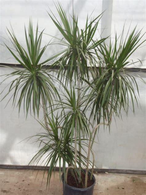 dracena marginata     varieties  dracena