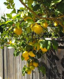 eureka lemon trees are the ideal backyard lemon tree as