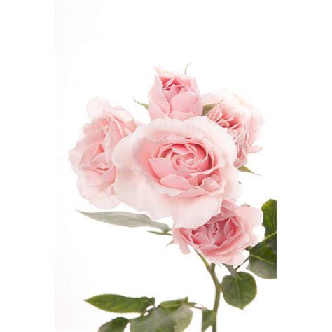 Light Pink Roshes by Light Pink Spray Roses Pink Majolica Spray Roses