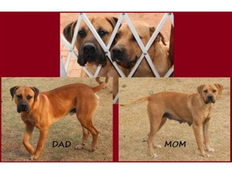south boerboel puppies for sale boerboel puppies for sale roodepoort ad land south africa