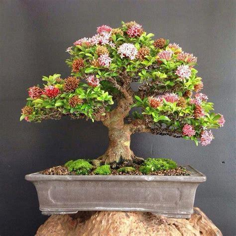 bonsai secrets designing growing 0762106247 32 best ixora images on bonsai indoor bonsai and bonsai trees