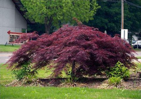 aceri da giardino acero palmato piante da giardino caratteristiche acero