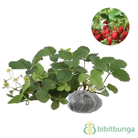 Jual Bibit Strawberry Sweet tanaman strawberry earlybrite