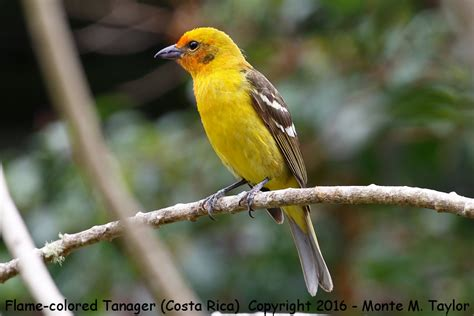 colored tanager colored tanager