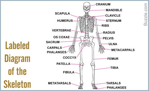 labeled bone diagram a list of bones in the human with labeled diagrams