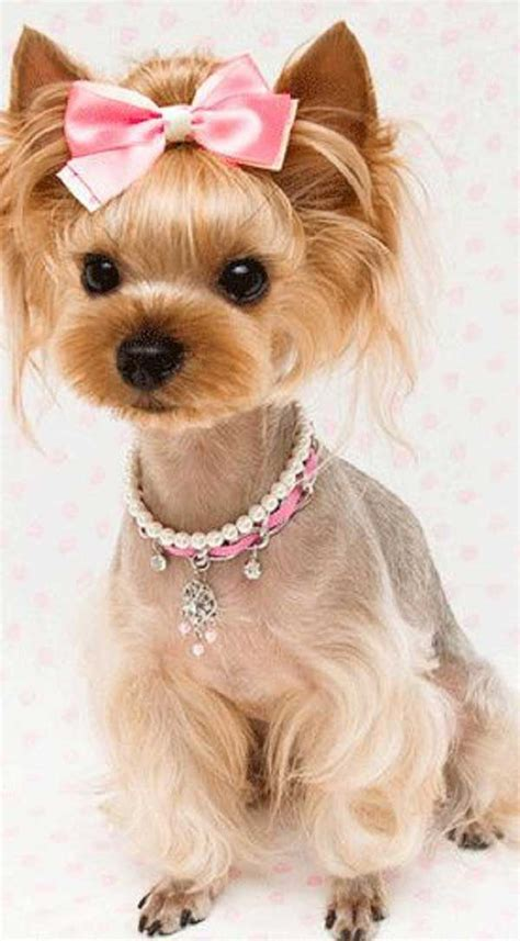yorkshire terrier haircuts pictures cute yorkie haircuts