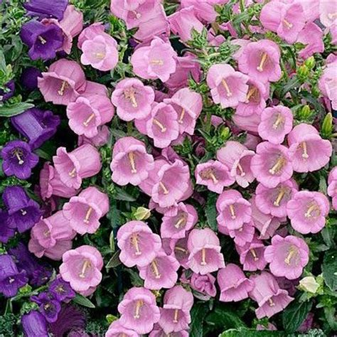 Glockenblume Rosa by Canula Color Rosa Canula Rosa Plants
