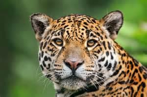 Jaguar Me Jaguar Animal Wikimini L Encyclop 233 Die Pour Enfants