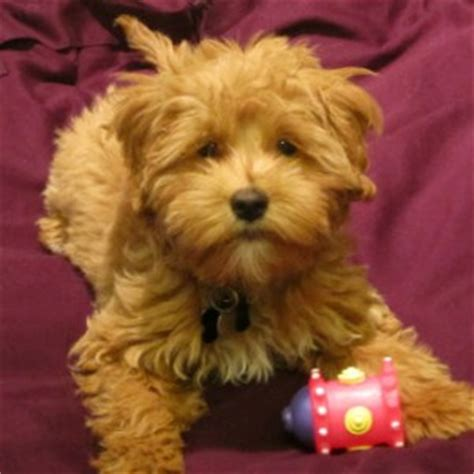 australian doodle puppies for sale ontario goldendoodle tiny goldendoodle puppies for sale by