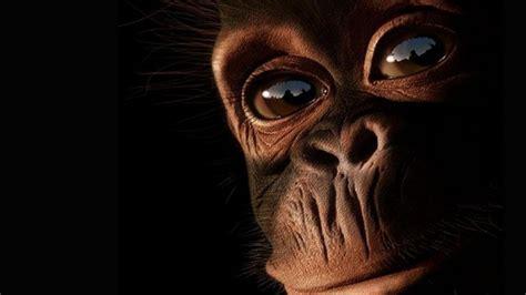 Monkey Wallpaper For Walls nature eyes animals mankind chimpanzee primates primate