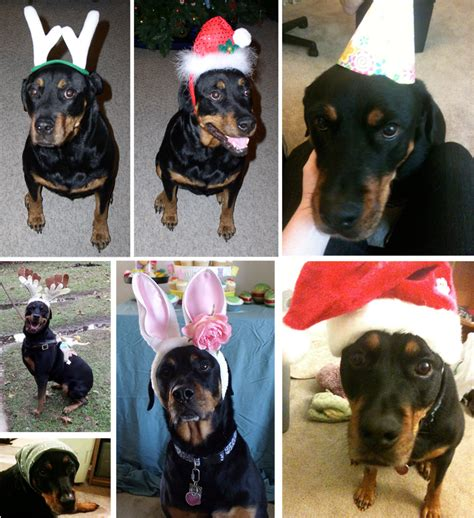 rottweiler costume collection rottweiler costumes pictures costumes for pets newsday
