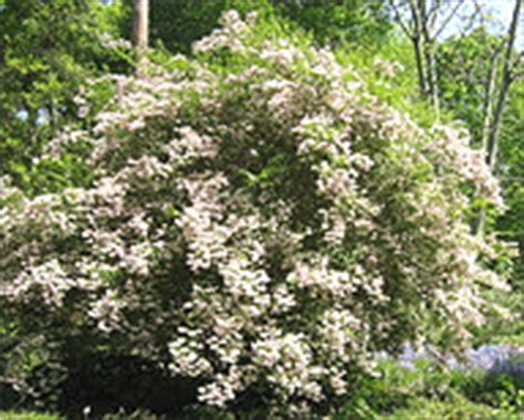 flowering shrubs zone 5 flowering evergreen shrubs zone 5