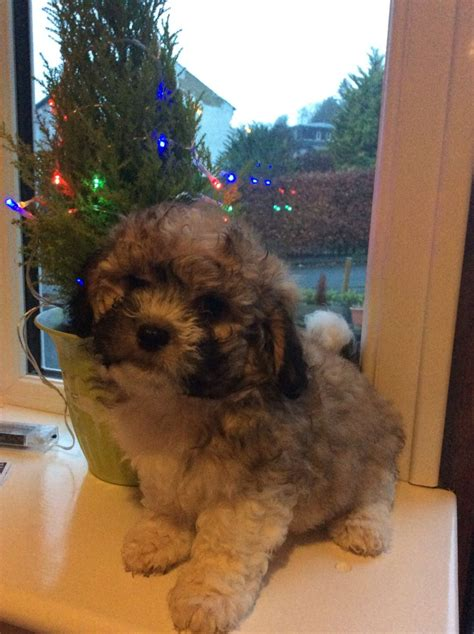 shih tzu cross puppies shih tzu cross puppies keighley west pets4homes