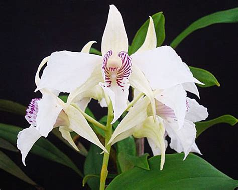 dendrobium orchid species care